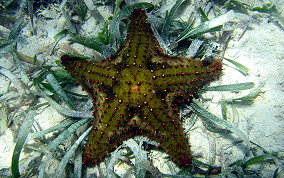 Cushion Sea Star - Oreaster reticulatus