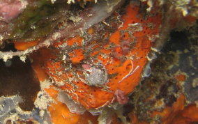 Orange Globular Sponge - Agelas sventres
