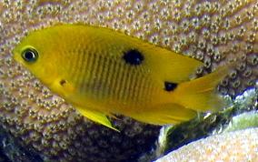 Three spot damselfish - photo#12