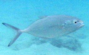 Silver fish caribbean fish identification usvi for Blue runner fish