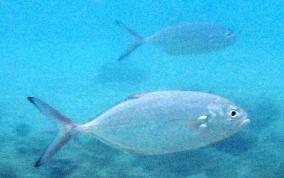 Blue runner jack caranx crysos caribbean fish for Blue runner fish
