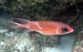 Common Squirrelfish - Holocentrus adscensionis