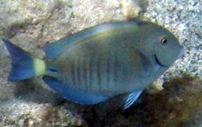 Doctorfish - photo#9